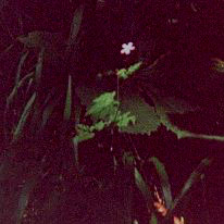 Photograph of solitary illuminated flower on forest floor at Danes Dyke, North Landing, East Yorkshire.